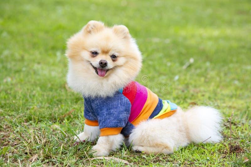 宠物;逗人喜爱的pomeranian狗本质上 免版税库存图片