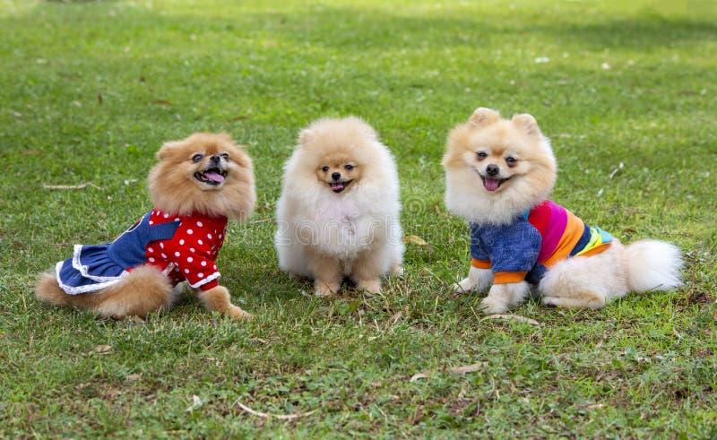 宠物;逗人喜爱的pomeranian狗本质上 库存照片