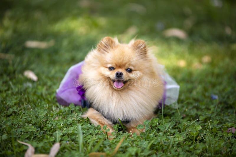 宠物;逗人喜爱的pomeranian狗本质上 图库摄影