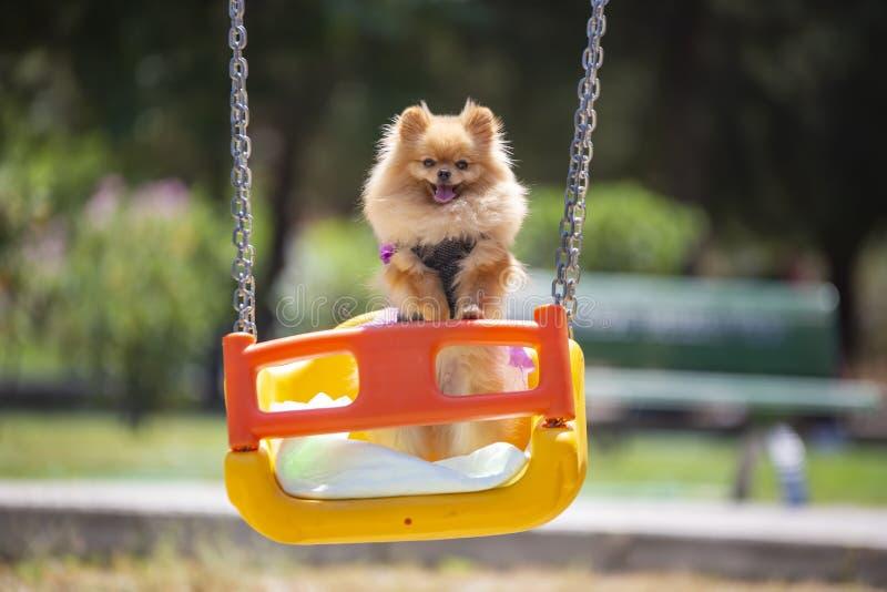 宠物;逗人喜爱的pomeranian狗本质上 免版税图库摄影