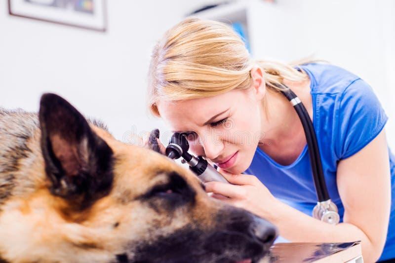 审查与疼痛耳朵的兽医德国牧羊犬狗 免版税库存图片