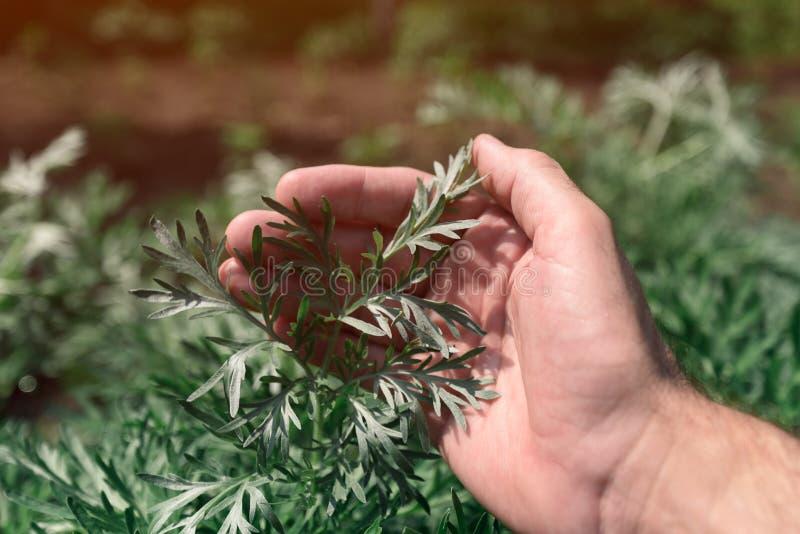 审查共同的蒿木植物的花匠在庭院里 免版税库存图片