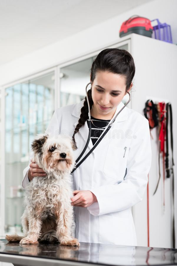 审查病的狗的狩医专家 库存照片