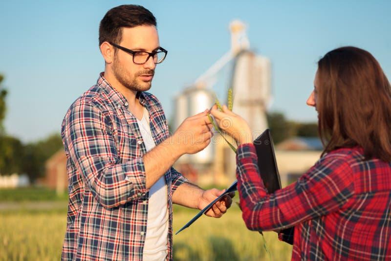 审查麦子植物成长的两位严肃的年轻女性和男性农夫或农艺师在收获身分前 免版税图库摄影