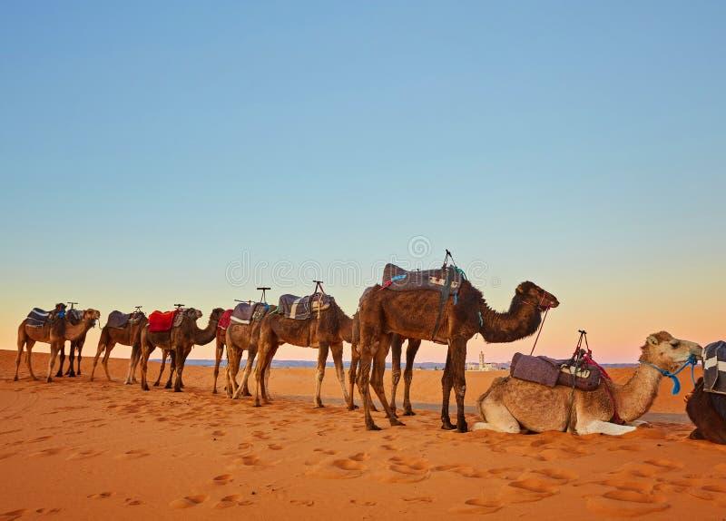 审阅沙丘的骆驼有蓬卡车在撒哈拉大沙漠 库存照片