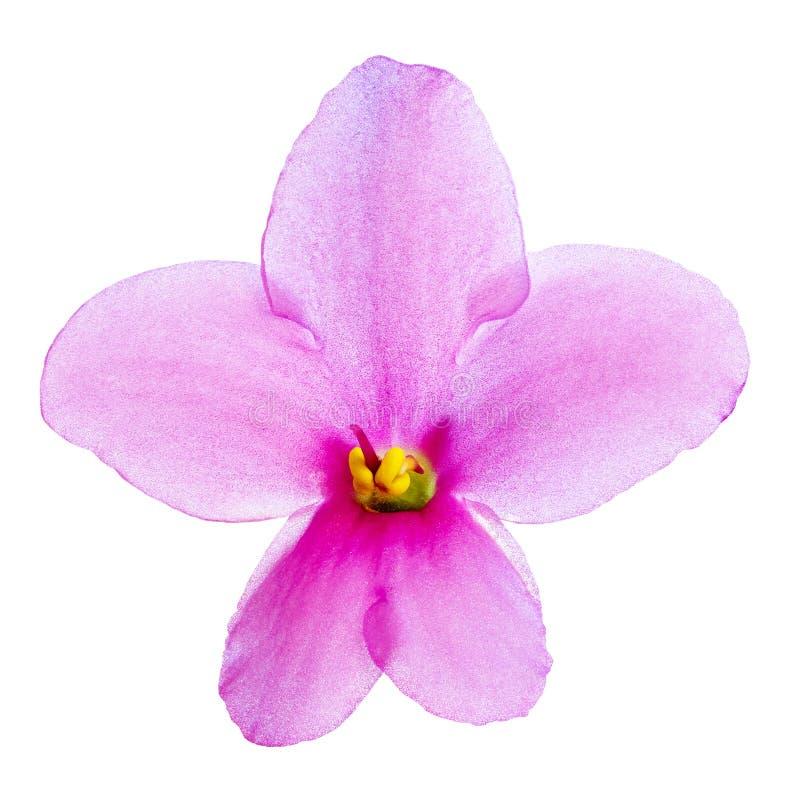 室内在白色背景隔绝的花淡紫色黄色中提琴 特写镜头 宏指令 库存图片