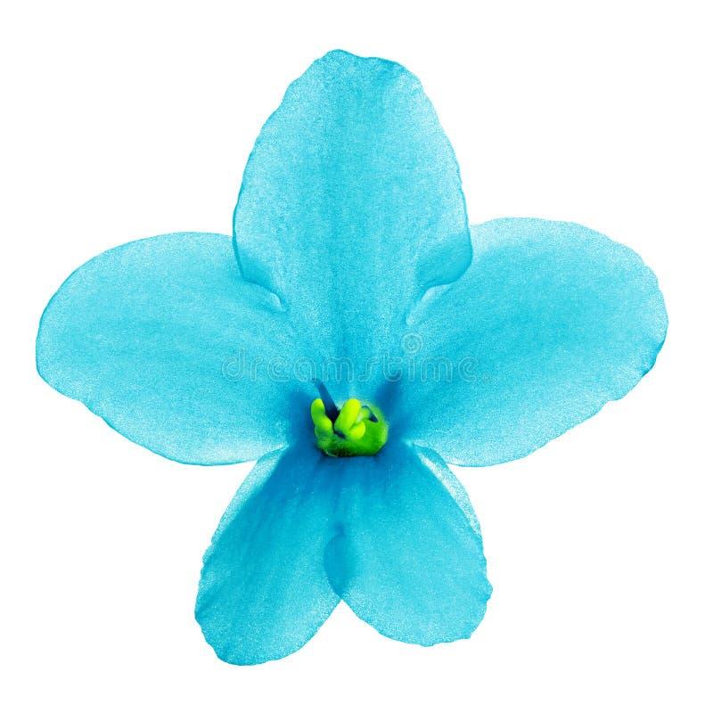 室内在白色背景隔绝的花深蓝黄色中提琴 特写镜头 库存照片