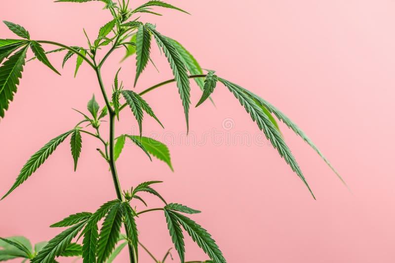室内大麻植物,大麻分支在桃红色背景的与拷贝空间 库存图片