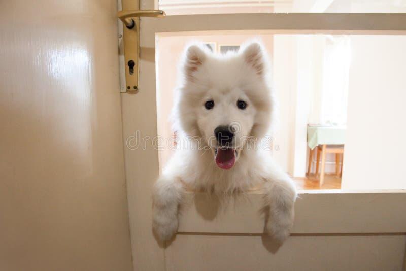 室内嬉戏的逗人喜爱的小狗萨莫耶特人 免版税库存照片