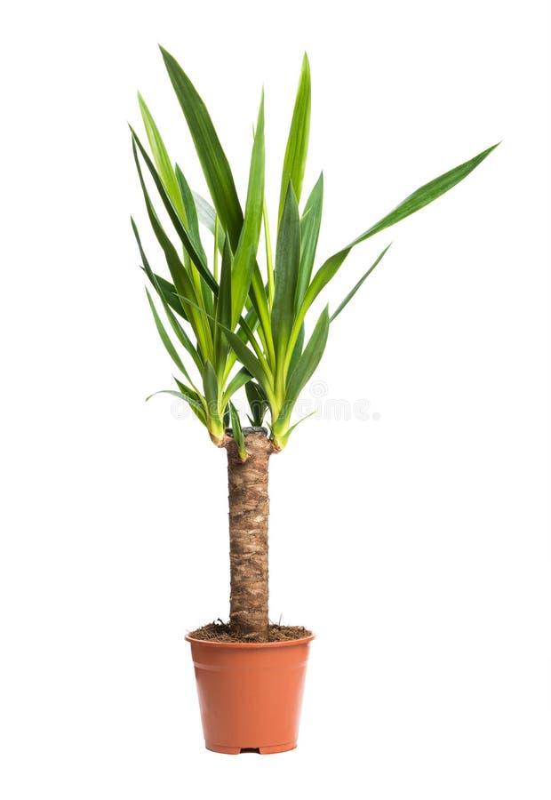 室内植物丝兰在白色背景隔绝的一棵盆的植物 图库摄影