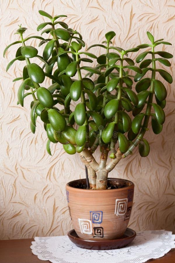室内植物景天树在布朗罐 库存图片
