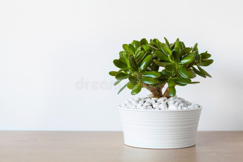 室内植物景天树ovata玉植物在白色罐的金钱树 免版税库存图片