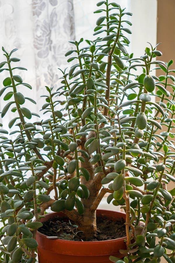 室内植物景天树ovata 库存图片