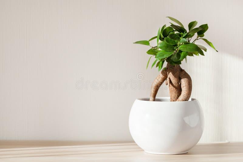 室内植物榕属在白色花盆的microcarpa人参 图库摄影