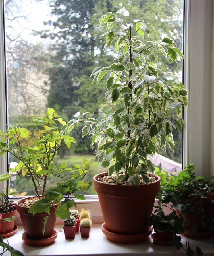 室内植物的混合在窗口的 免版税库存照片