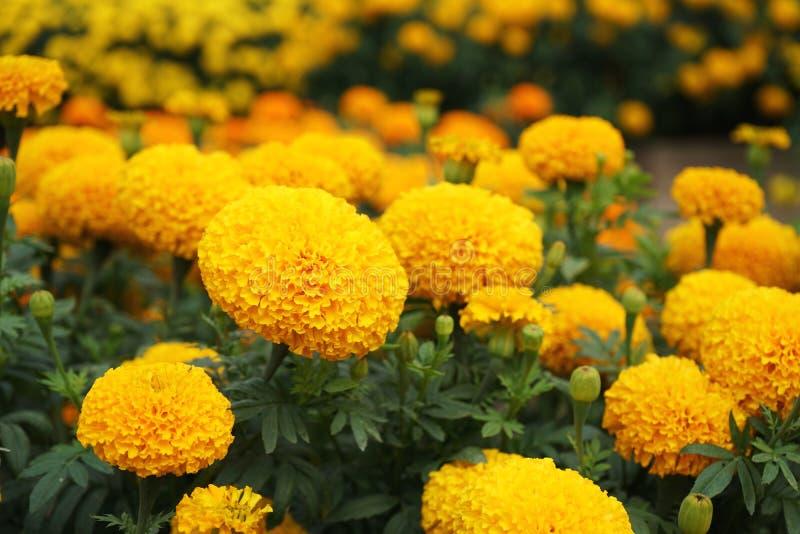 室内植物装饰庭院,黄色万寿菊花后院庄稼 库存图片