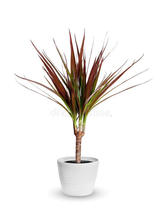 室内植物-龙血树属植物marginata一棵盆的植物被隔绝在whi 免版税库存图片