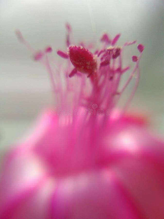 室内植物` Decembrist ` 库存照片