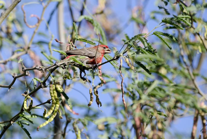 室内燕雀在沙漠豆科灌木分支,图森亚利桑那,美国栖息 库存图片