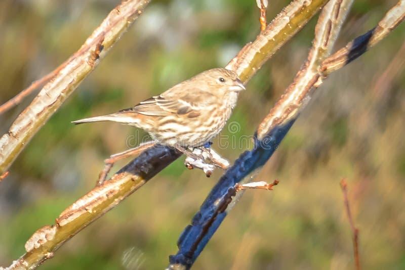 室内燕雀微小的鸟在树栖息 免版税图库摄影
