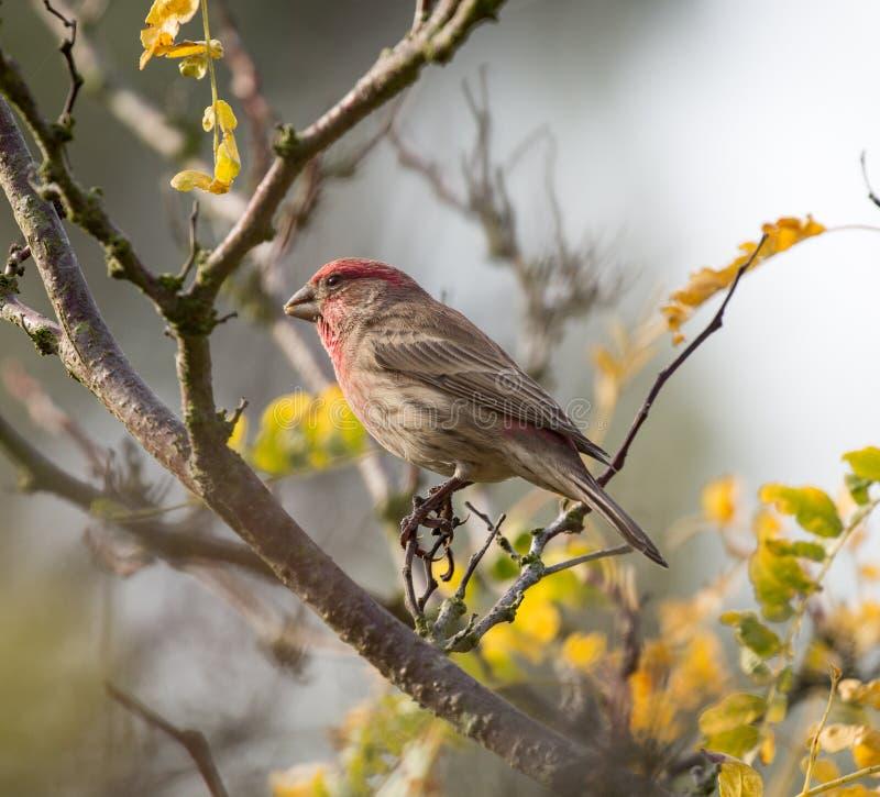 室内燕雀(Haemorhous mexicanus),男性 库存照片