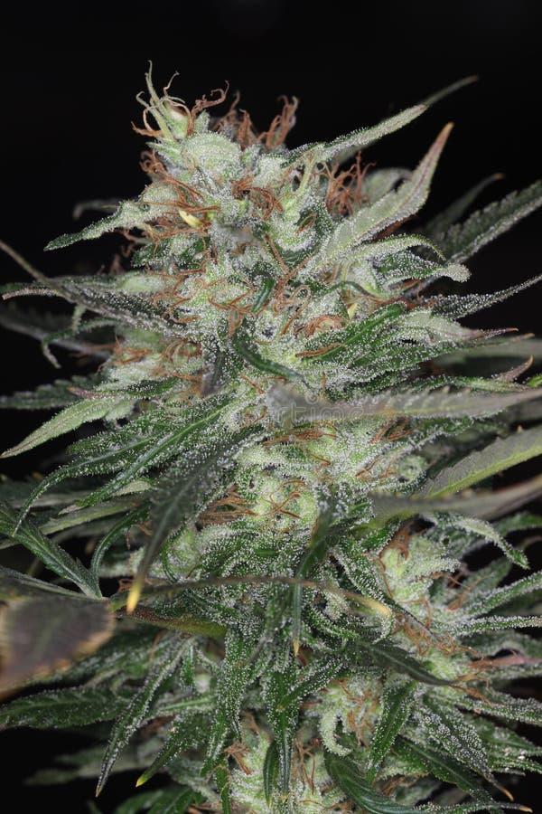 室内生长大麻花开花的医疗大麻植物 库存照片