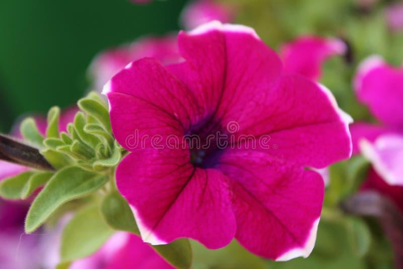 室外一朵可爱的紫色喇叭花的花 免版税库存图片