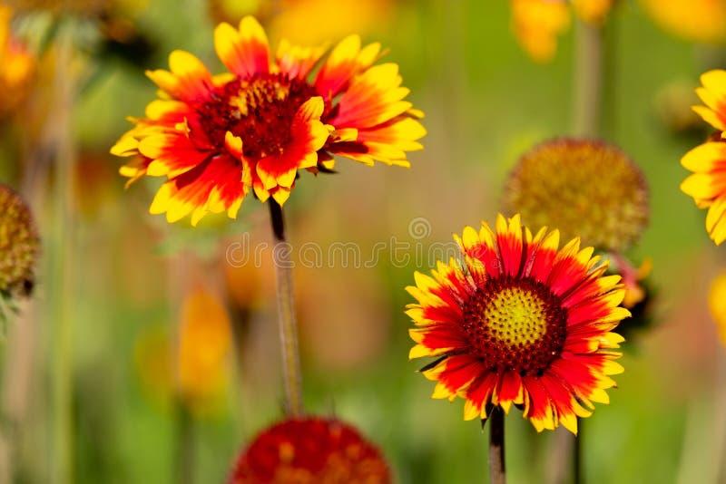 室外两颜色gaylardiya的年的花生长为疆土的装饰,美好的花风景 库存照片