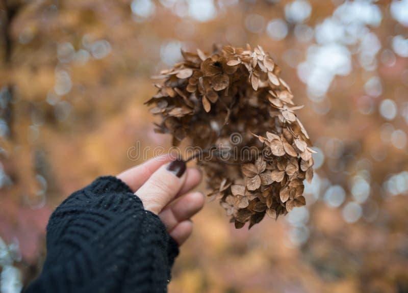 室外人的手花八仙花属秋天天bokeh的背景 免版税库存照片