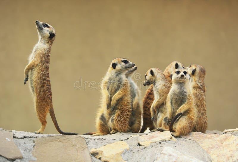 室外小组观看的surricatas 图库摄影