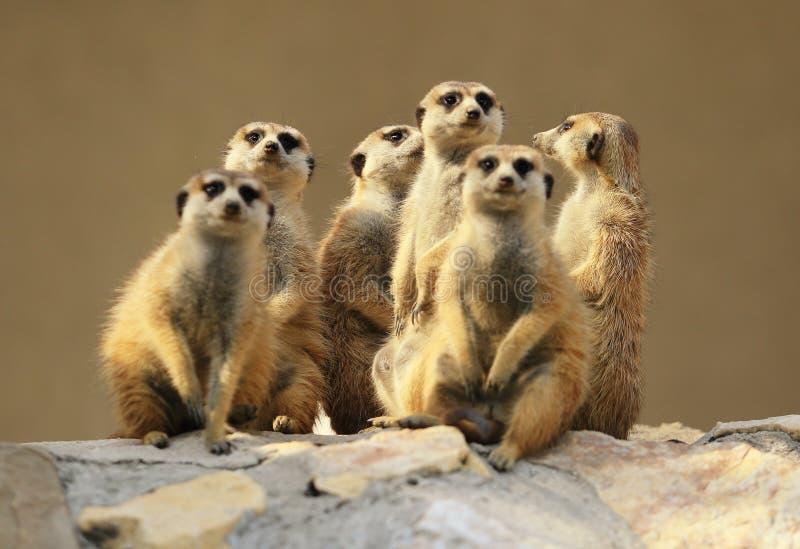 室外小组观看的surricatas 免版税库存图片