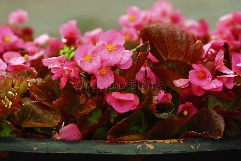 室外桃红色背景开花秋海棠 特写镜头 街道在雨以后开花秋海棠 库存照片
