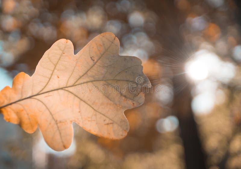 室外橡木叶子特写镜头宏观纹理bokeh的背景 免版税库存照片