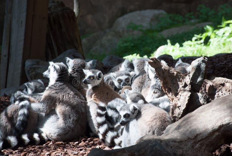 室外沟通的小组的狐猴 库存图片