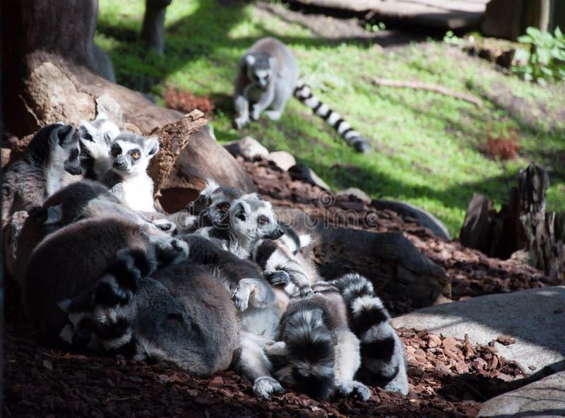 室外沟通的小组的狐猴 图库摄影