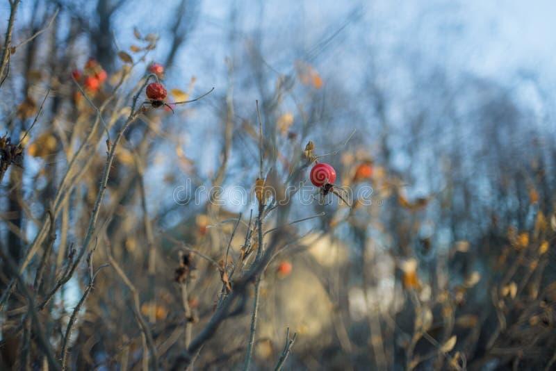 室外灌木野玫瑰果红色莓果bokeh的背景 库存照片