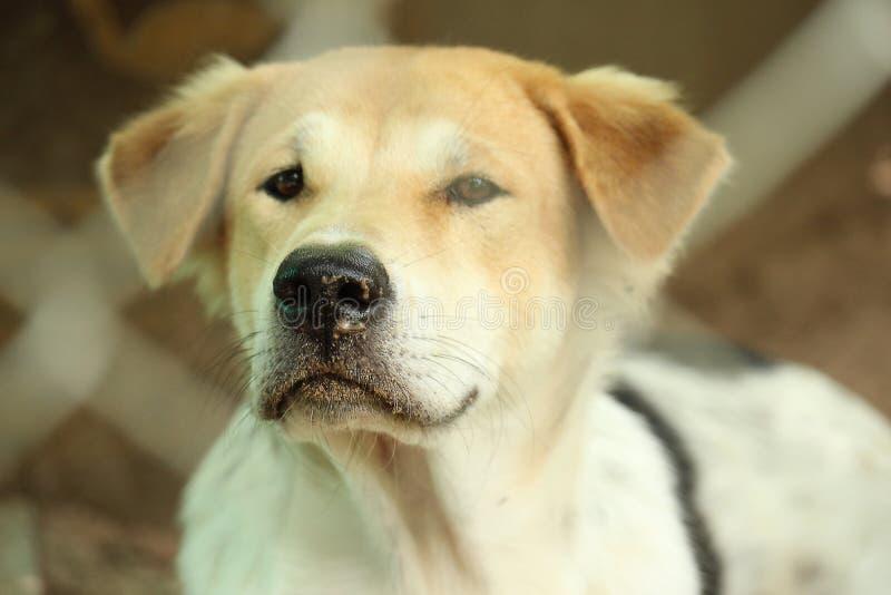 室外美丽的幼小泰国的狗的接近的顶头口鼻部 免版税图库摄影