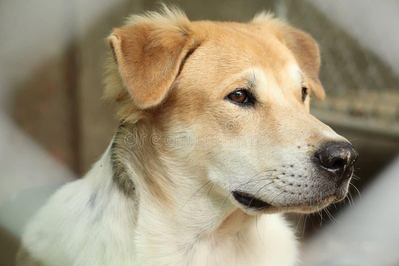 室外美丽的幼小泰国的狗的接近的顶头口鼻部 免版税库存照片