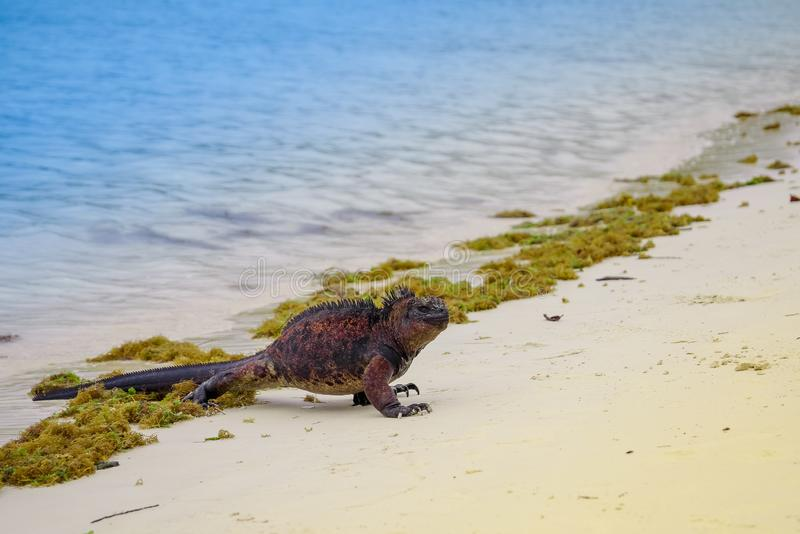 室外观点的在托尔蒂岛海湾海滩的海产鬣蜥蜴在加拉帕戈斯群岛 库存图片