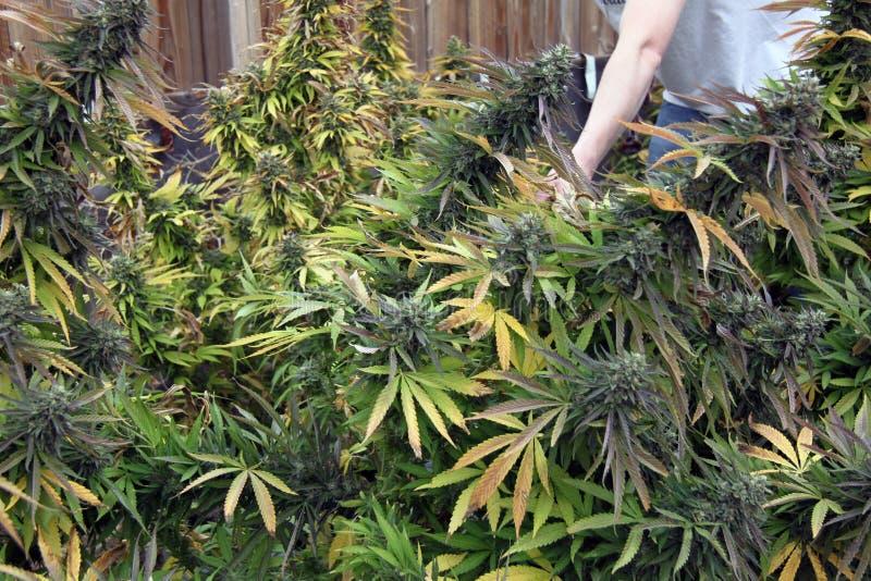 室外医疗大麻庭院 免版税库存照片