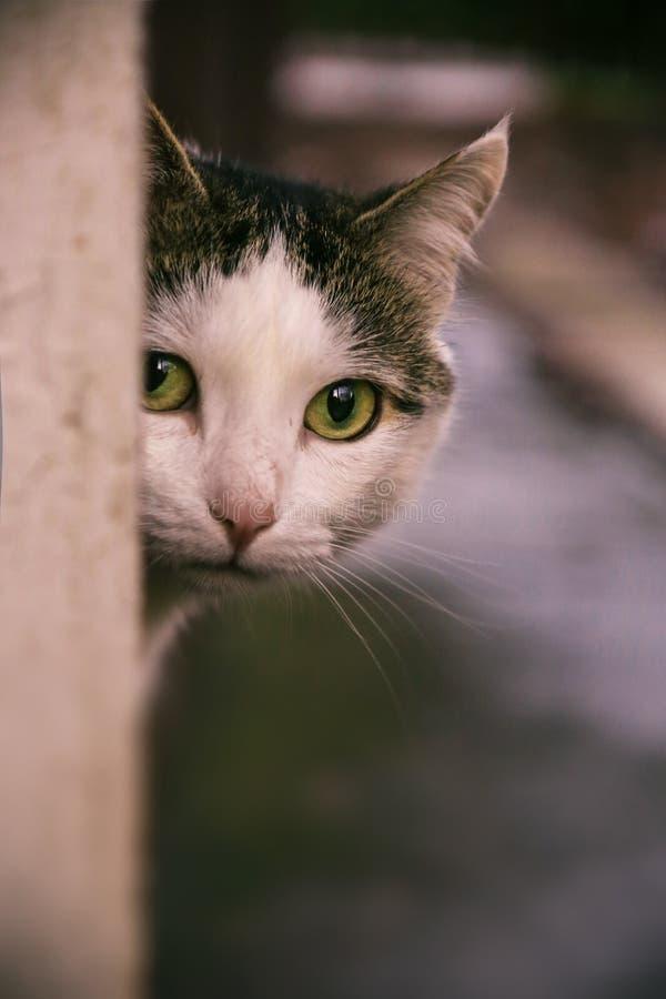 室外portait的西伯利亚猫关闭 库存图片