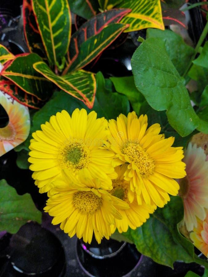 室花gerber黄色美丽几朵花 库存照片
