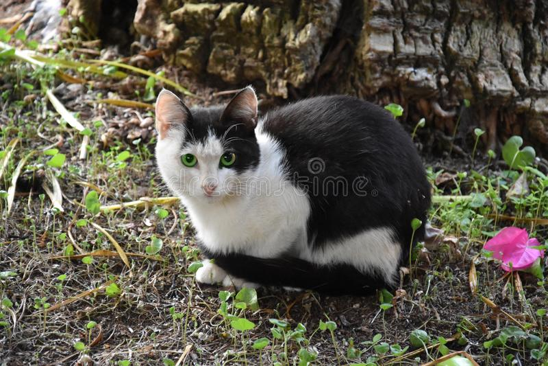 害怕小的黑白猫 库存图片