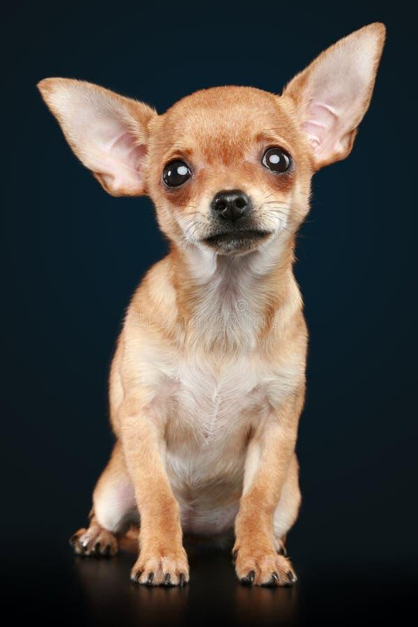 害怕的棕色奇瓦瓦狗小狗 免版税库存图片