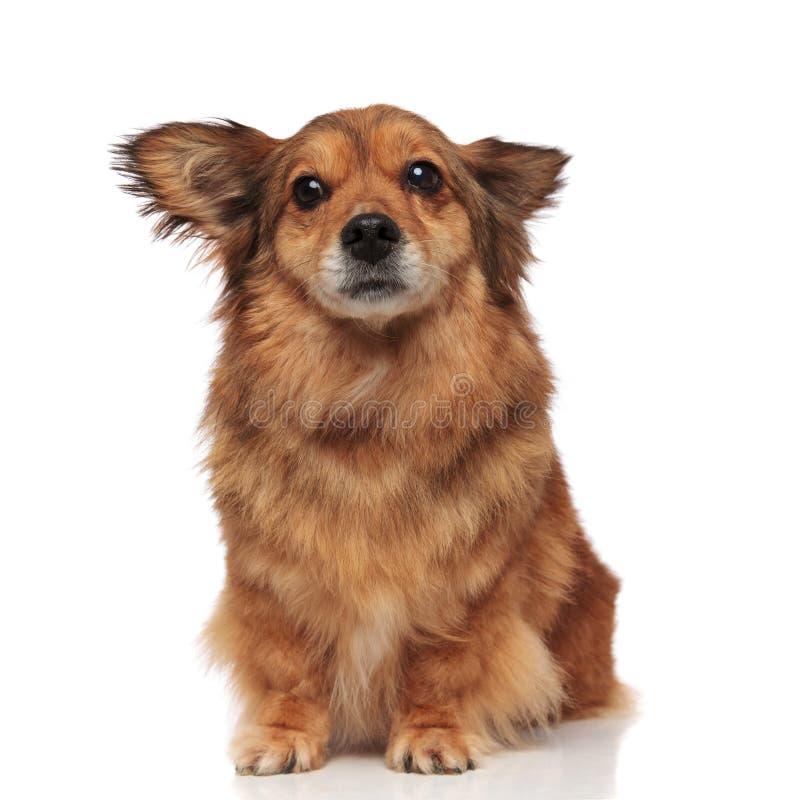 害怕的棕色metis狗做宽眼睛 库存图片