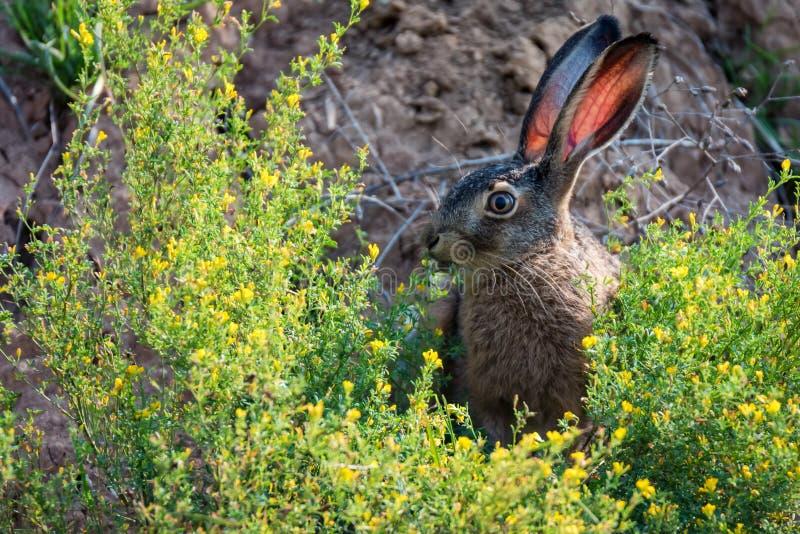 害怕的欧洲野兔的关闭或天兔座europaeus本质上 免版税库存图片