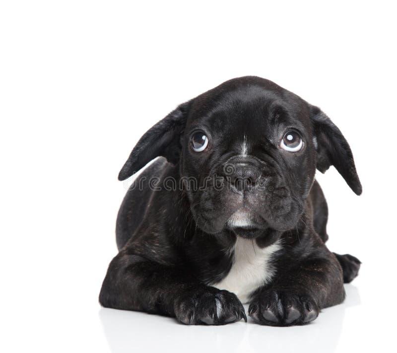 害怕的法国牛头犬小狗 免版税库存照片