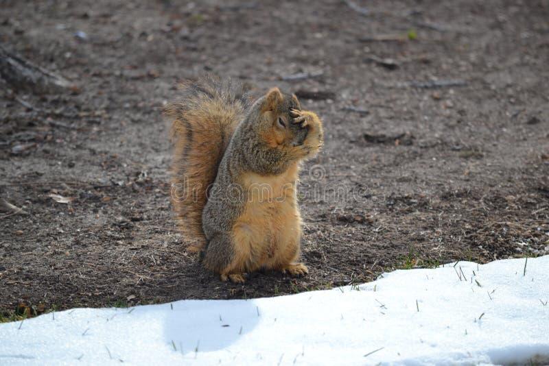 害怕的狐狸松鼠 免版税图库摄影