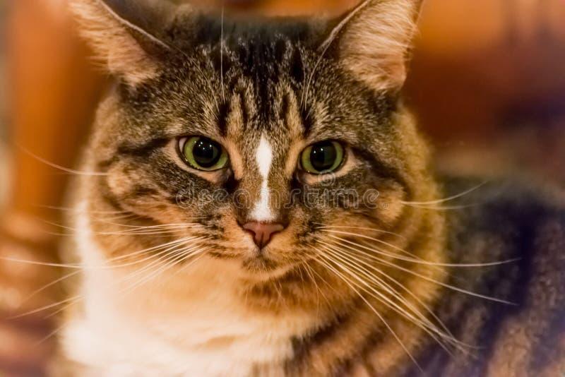 害怕的滑稽的蓬松三色虎斑猫 库存图片