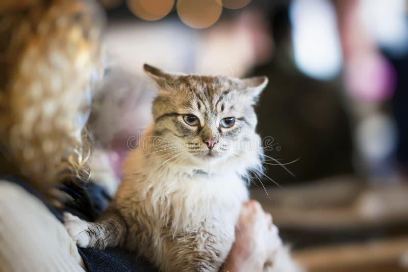 害怕蓬松无家可归的猫在女孩志愿者的手上风雨棚的无家可归的动物的 女孩采取猫到她的家 库存照片
